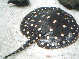 Ikan Pari Air Tawar