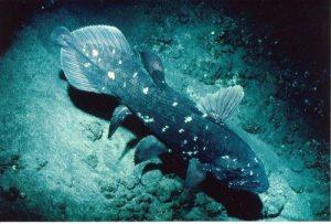 Ikan Raja Laut (Coelacanth) Ikan Purba