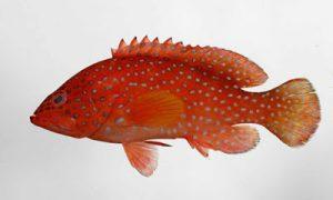 Jenis Jenis Ikan Kerapu