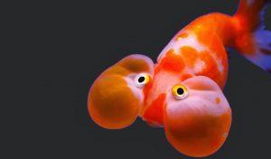Jenis Ikan Mas Koki dengan Harga tertinggi