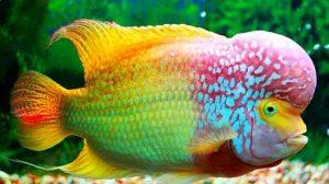 11 Jenis Ikan Louhan