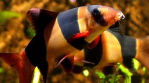 Toman Borneo dan Ulang Uli, 2 Jenis Ikan Endemik Pulau Borneo Kalimantan
