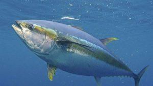 Mengenal Karakter Yellowfin Tuna