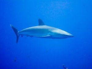 10 Jenis Ikan Hiu yang Dilindungi Undang-Undang dan Tidak Boleh Ditangkap di Indonesia