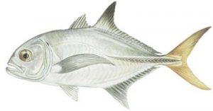 13 Jenis Keluarga Ikan Trevally yang Wajib Para Mania Ketahui