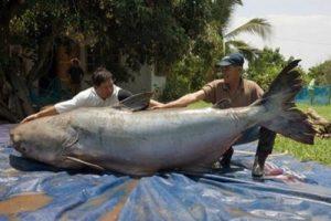 9 Rekor Dunia Ikan Terbesar Yang Pernah Tertangkap