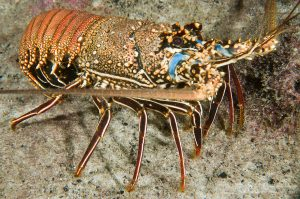 Mengenal Jenis-Jenis Lobster dan Karakteristiknya