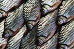 8 Cara Budidaya Ikan Tawes agar mendapatkan Hasil yang Melimpah