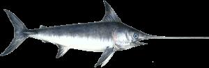 Macam-macam Jenis Ikan Marlin