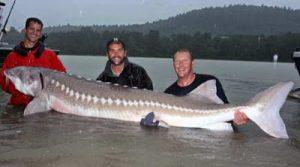 10 Ikan Raksasa Air Tawar yang Terancam Punah