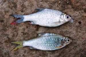 Umpan Ikan Tawes Paling Manjur