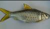 Cara membuat umpan Ikan Wader